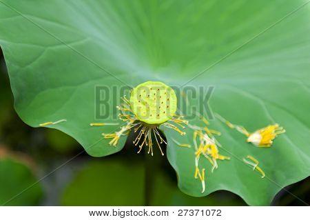 Lotus (Nelumbo nucifera) fruit isolated with shallow DOF in the Japanese pond