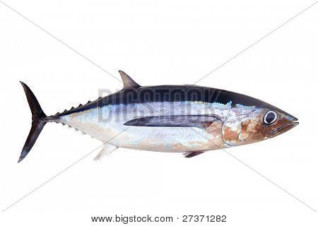Atum voador Thunnus Alalunga isolado no branco
