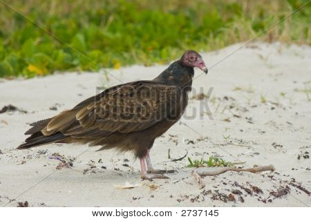 Turkey Vulture Scavenging On The Beach