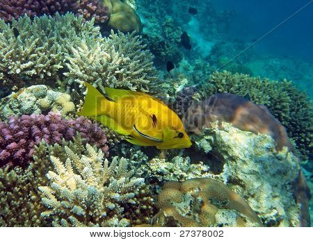 Yellow Slingjaw Wrasse (female)