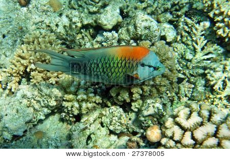 Multicolor Slingjaw Wrasse (male)