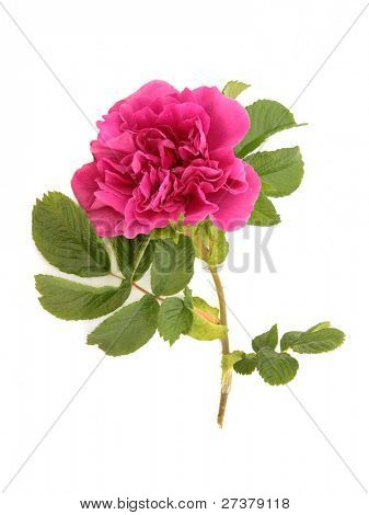 Red rose flower in full bloom isolated over white background. Rosa rugosa .