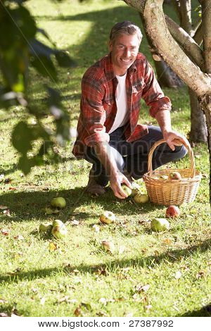Man collecting apples off the ground