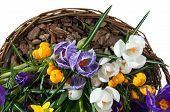Basket With Spring Flowers Isolated On White Background. Wicker Basket With Crocuses. poster