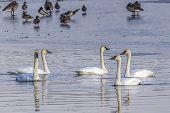 A Group Of Tundra Swans In Cheever Lake At Turnbull Wildlife Refuge Near Cheney, Washington. poster