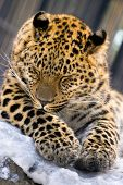 Leopard closeup in Novosibirsk Zoo