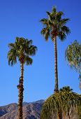 picture of washingtonia  - Fan Palms Trees Palm Springs California washingtonia filifera