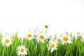 picture of daisy flower  - white daisy flowers in green grass - JPG