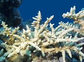 Colorful Coral Reef On The Bottom Of Tropical Sea, Yellow Acropora Coral, Underwater Landscape poster