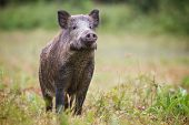 Curious Wild Boar, Sus Scrofa, Sniffing For Danger On Hayfield In Daylight. poster