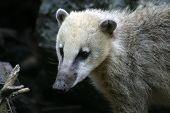 pic of coatimundi  - Adult grey southamerican coati in a german zoo - JPG