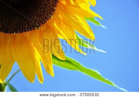 Detail Of A Sunflower Blossom