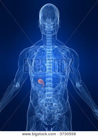 hervorgehobene Gallenblase
