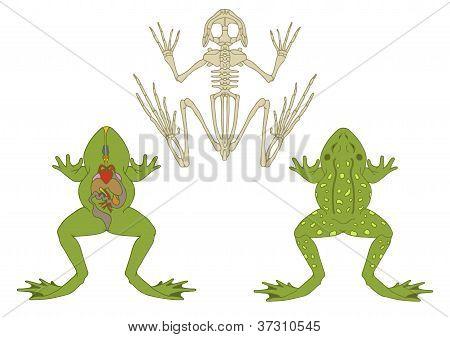 Anatomía de los anfibios