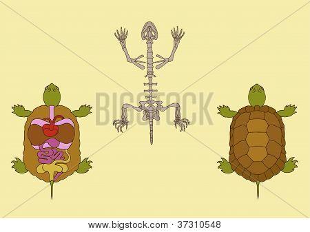 Anatomía del reptil