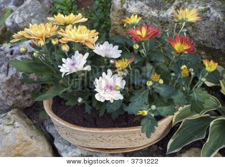 Chrysanthemums And Stones