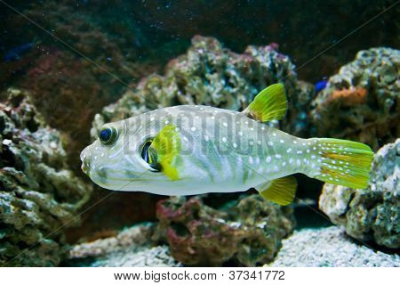 White-Spotted puffer fish, Arothron Hispidus
