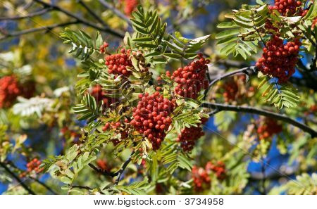 Autumn Mountain Ash
