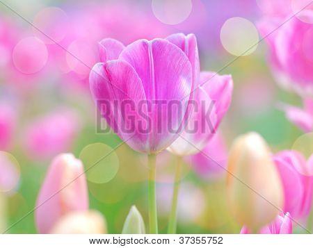 pink tulip with bokeh