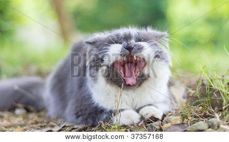 Persa gato bocejando