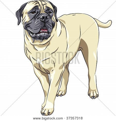 Vector Sketch Portrait Of The Domestic Dog Breed Bullmastiff Stands