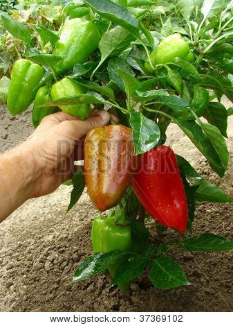 fruitful pepper plant with red and green fruits