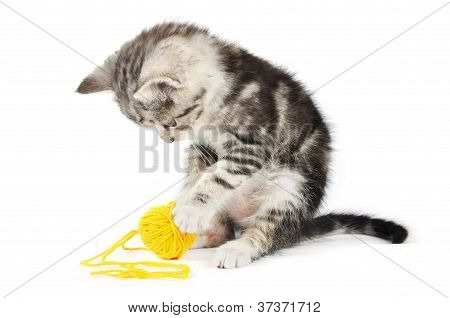 Grey Kitten Playing