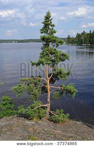 Single tree on rocks