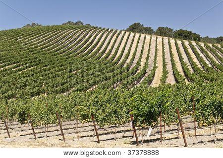 Vineyard in Central California