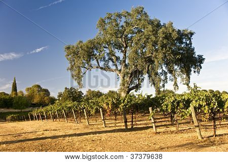 Oak Tree And Vineyard