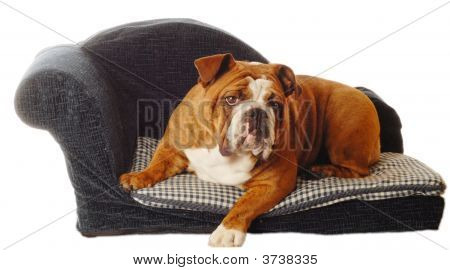 Bulldog On Dog Couch
