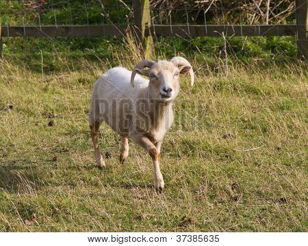 The rare Portland breed of sheep