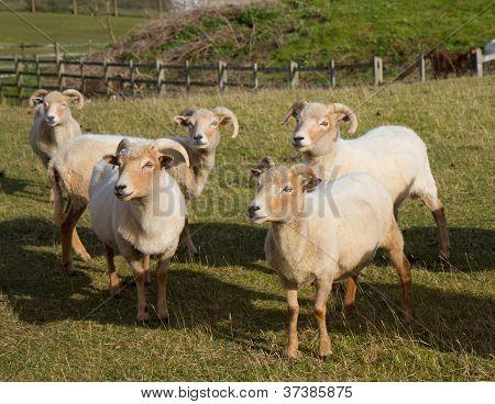 Group of Portland sheep