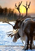 stock photo of deer horn  - Northern deer are in harness on snow on sunset background - JPG
