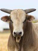 foto of bull-riding  - A large mean bull caught in a stare down - JPG