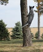 pic of blue heeler  - Blue Heeler jumping in the air by a tree - JPG