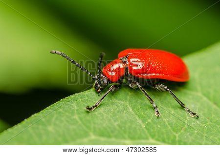 Red Beetle Macro
