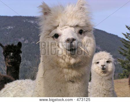 Alpaca3jpga