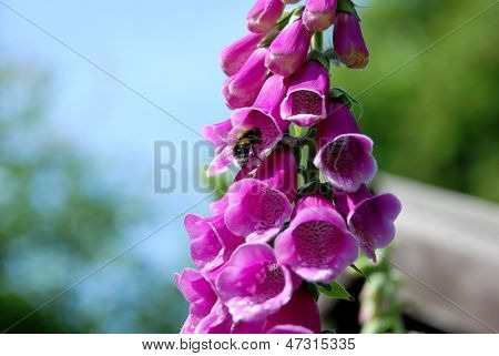 Bumble Bee On A Foxglove Flower