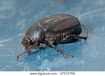 Käfer Chafer