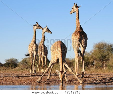 Giraffe - Wildlife Background from Africa - Funny Poses