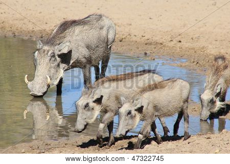 Warthog - Wildlife Background from Africa - Animal Babies with Snouts
