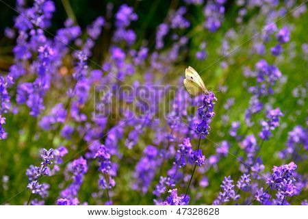 blooming lavender flowers and butterfly