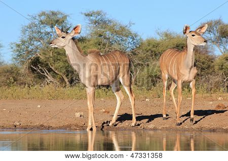 Kudu - Wildlife Background from Africa - Cautious Beauties