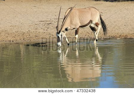 Oryx / Gemsbok - Wildlife Background from Africa - Peace and Tranquil Freedom