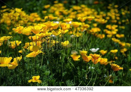 California Poppy Flowers (eschscholzia Californica)