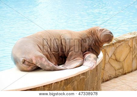 A large walrus lying on the shore of the pool