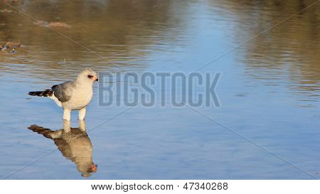 Goshawk - Wild Bird Background from Africa - Quiet Beauty of Blue