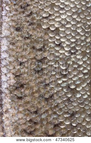Fish Skin Texture Close Up.