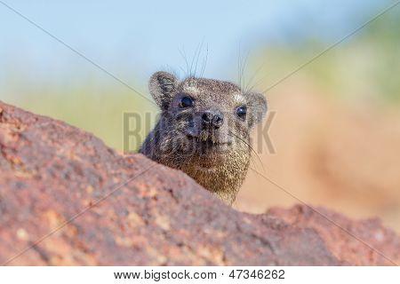 Dassie / Rock Hyrax